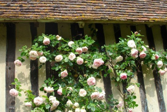 Roses on half timbered wall