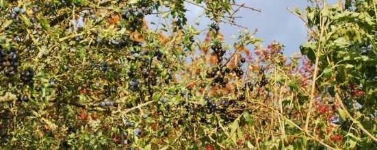 Sloes Haws and Hips november
